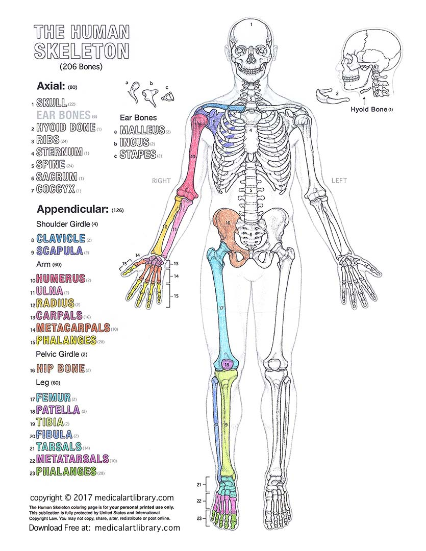 The Human Skeleton Coloring Page Medical Art Library