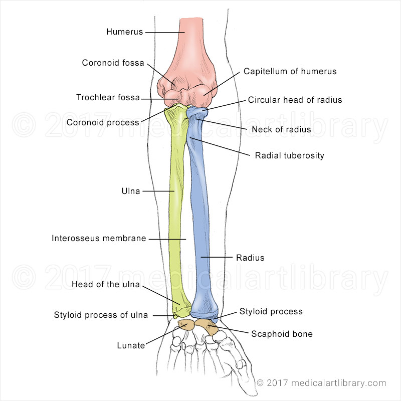 Forearm Bones - Medical Art Library