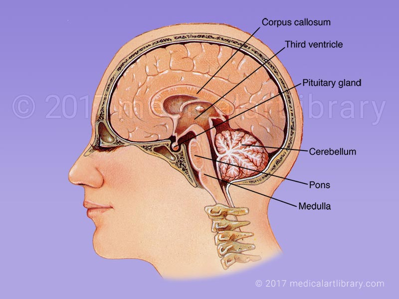 Brain Anatomy Internal Structures Medical Art Library