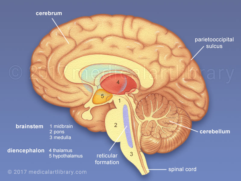 Brain Anatomy - Internal Structures - Medical Art Library