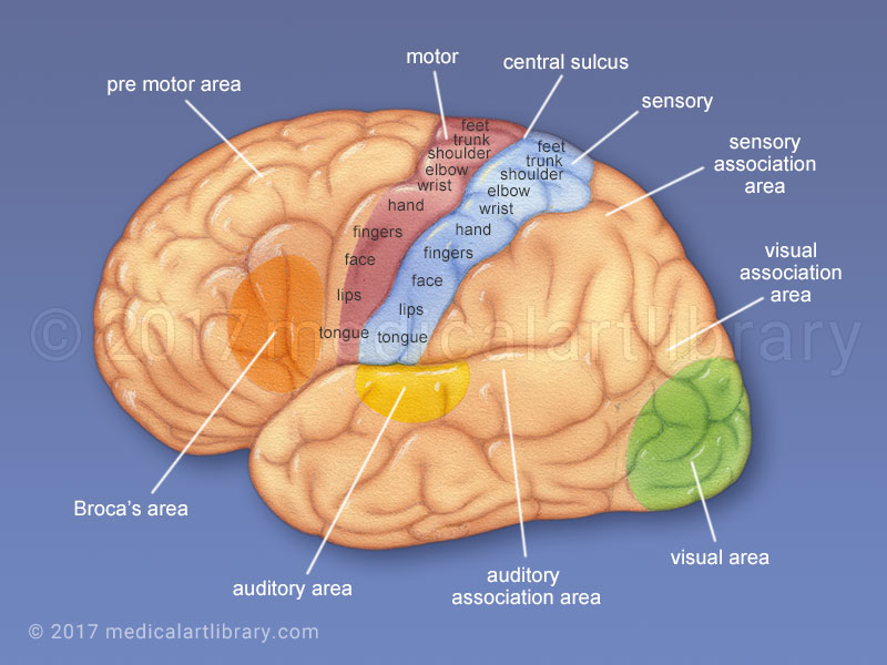 Cerebral Cortex Functional Areas Medical Art Library