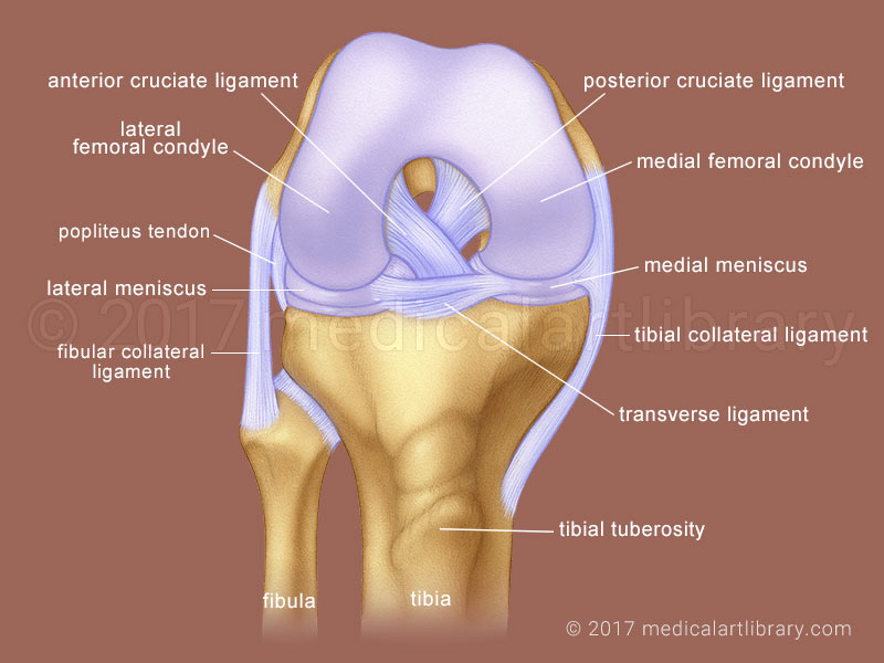 Knee Joint - Cruciate Ligaments - Medical Art Library