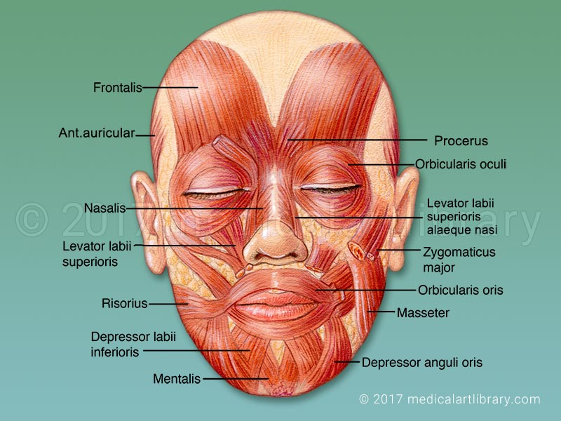 Muscles of the Face Mimetic Muscles Medical Art Library