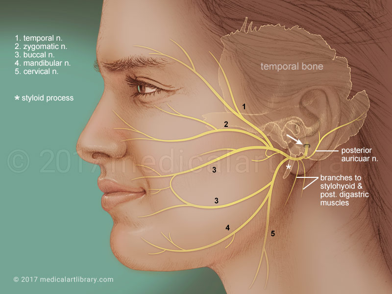 Facial Nerve Medical Art Library