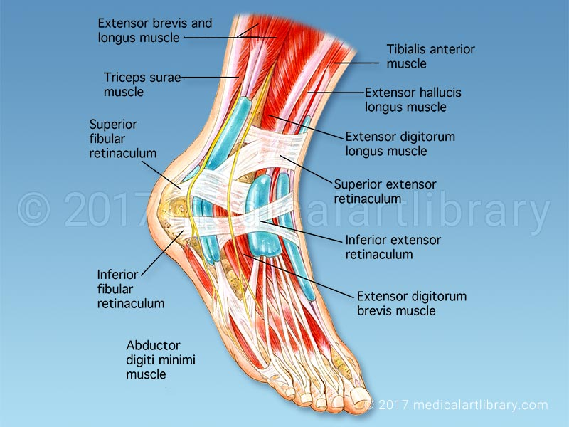 anatomy of the foot - medical art library, Human body