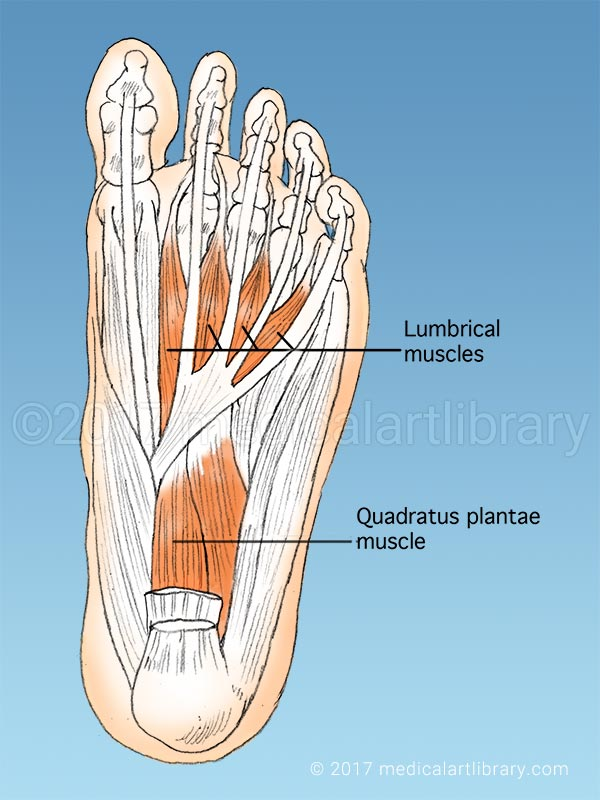 muscles on the sole of the foot