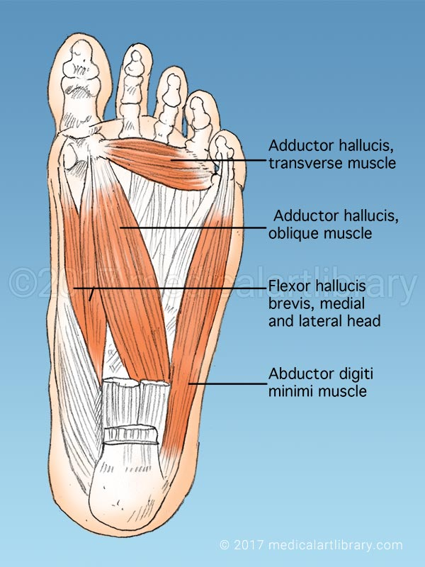 Foot Muscles Medical Art Library