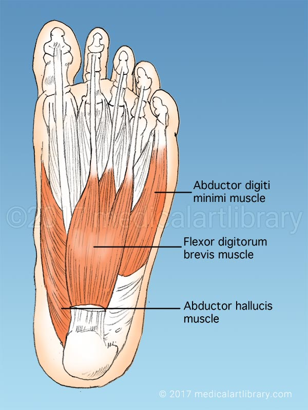Anatomy of the Foot - Medical Art Library