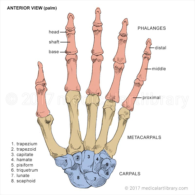 hand bones - medical art library, Human Body