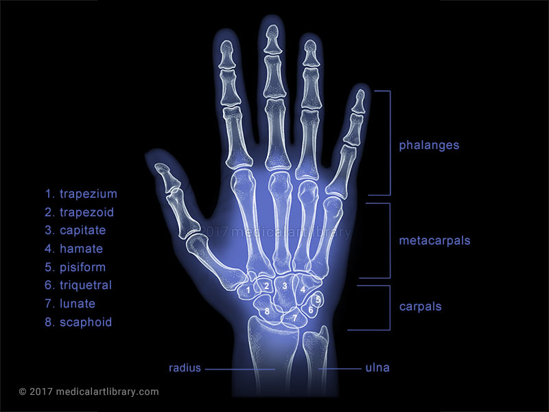 hand x ray medical illustration