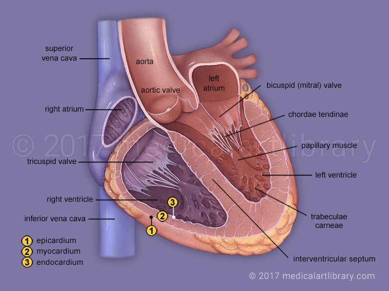 Heart Anatomy Internal - Medical Art Library