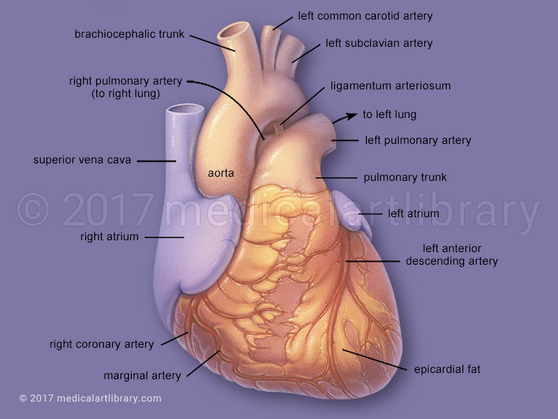 Heart anatomy medical illustration