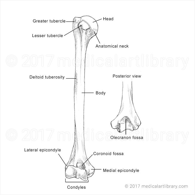 Anatomical illustration of the humerus bone.