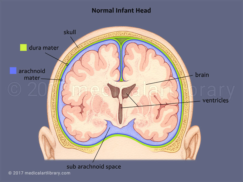 Infant Brain-Coronal View medical illustration