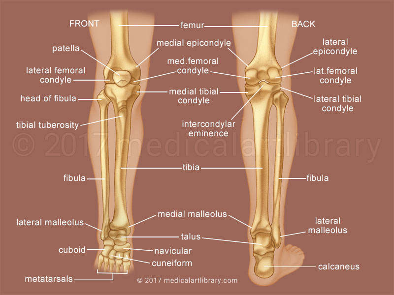 Leg Bones Medical Art Library