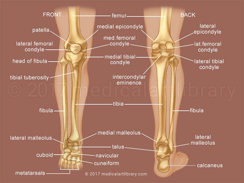 leg bones medical illustration