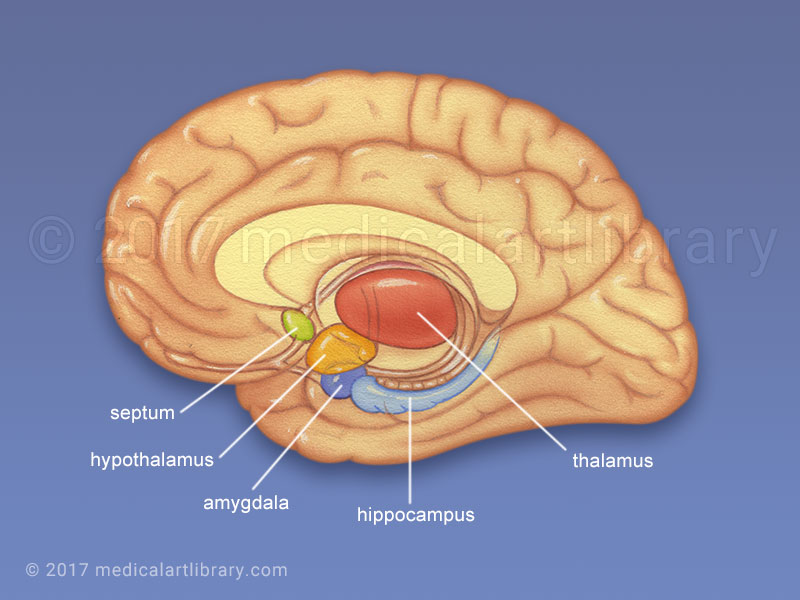 Limbic System medical illustration