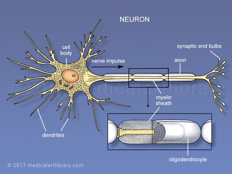 Neuron medical illustration