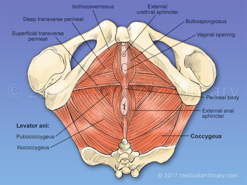 Pelvic Floor Muscles Medical Art Library