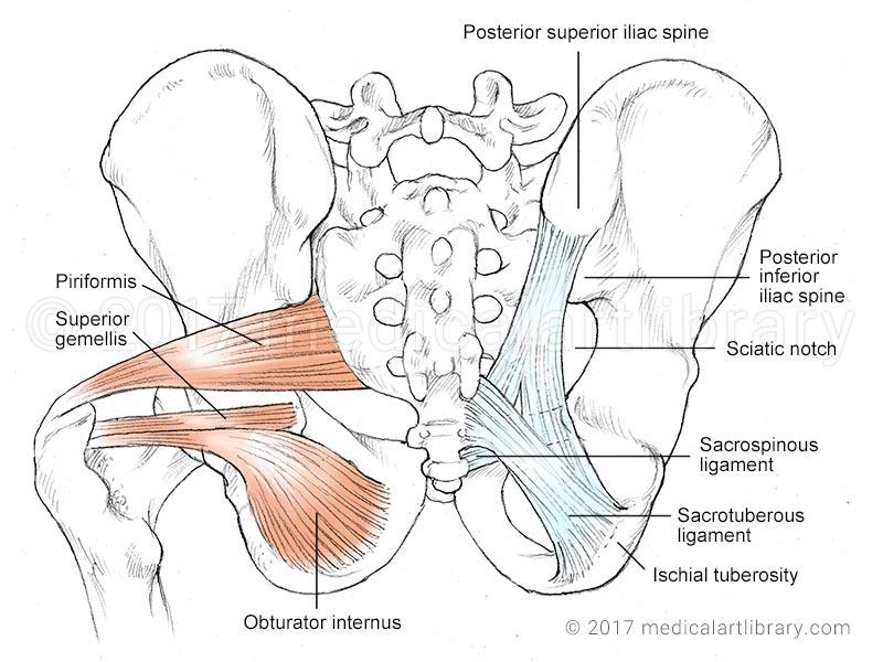 piriformis muscle picture
