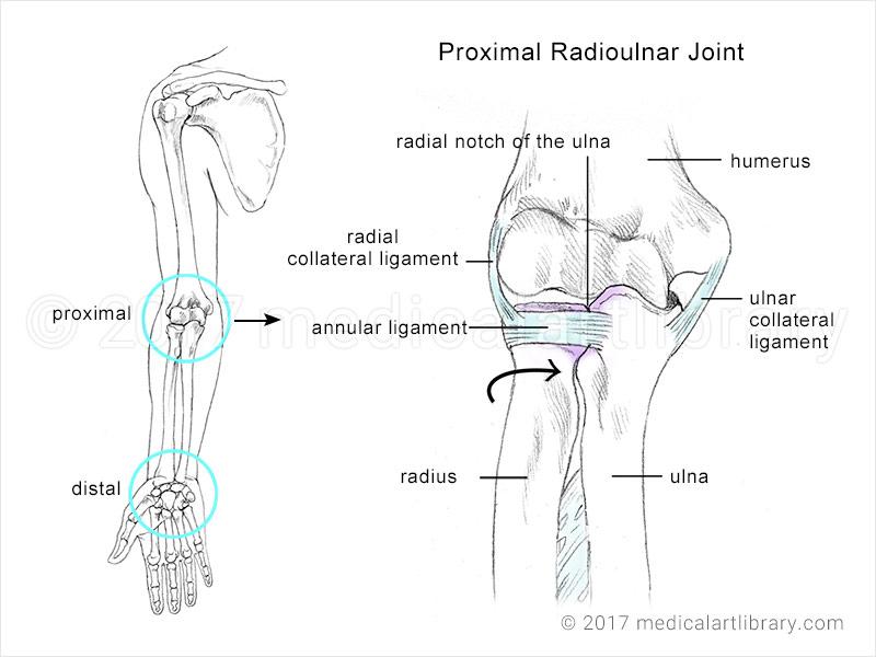radioulnar joint anatomical illustration