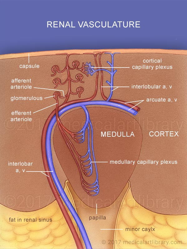 Renal blood vessels medical illustration