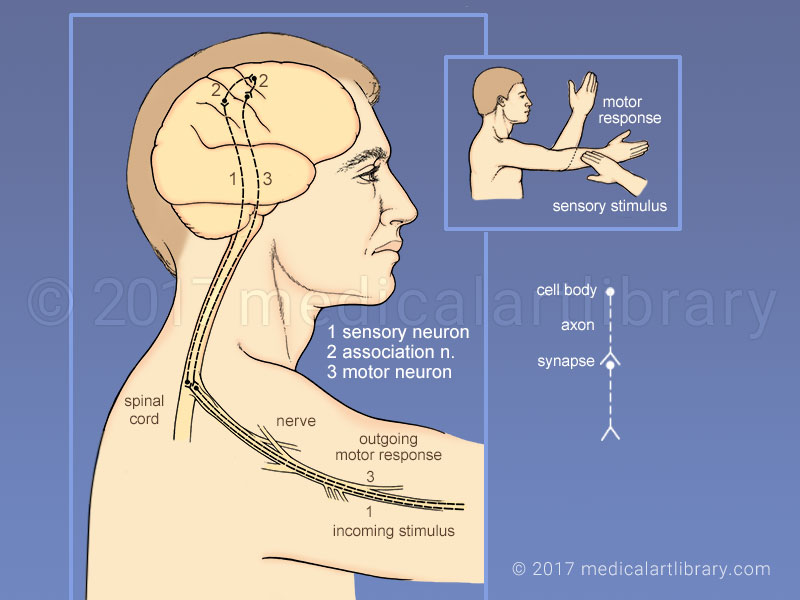 Sensory Input, Motor Response - Medical Art Library