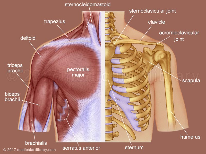 Shoulder Anatomy medical illustration