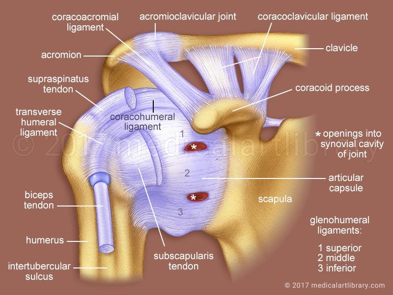 Shoulder Joint Ligaments