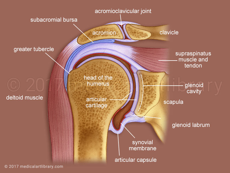 Shoulder Joint Cross Section medical illustration