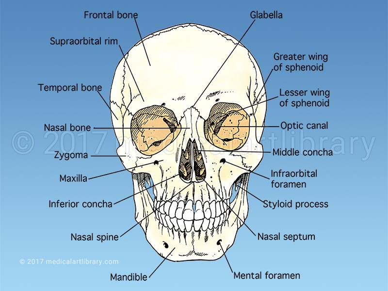 Skull Anatomy Medical Art Library
