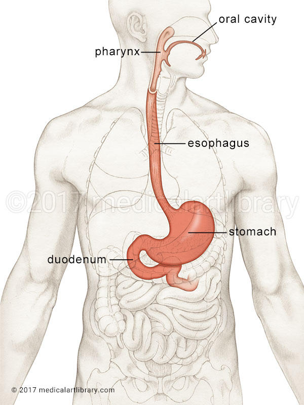 stomach location medical illustration