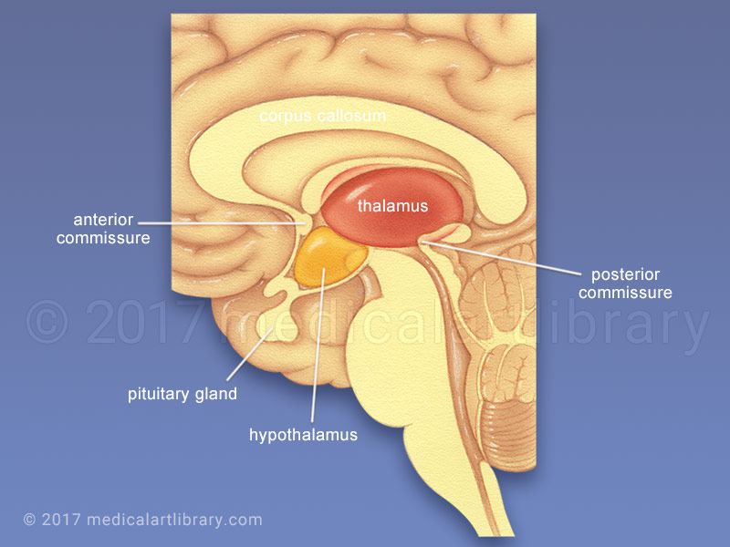 Thalamus, Hypothalamus medical illustration
