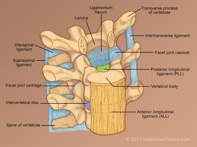 diagram of foot structure vertebral ligaments medical art library diagram of foot pain areas #10