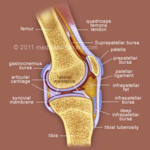Knee Joint Cross Section