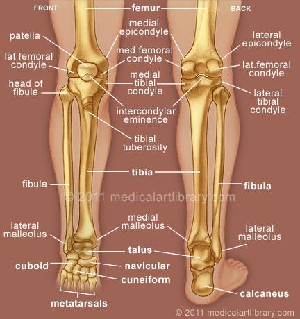 Leg skeletal anatomy