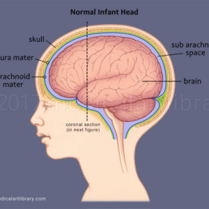 Infant Brain Side View