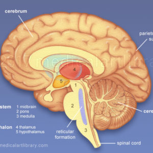 Brain Anatomy – Internal Structures