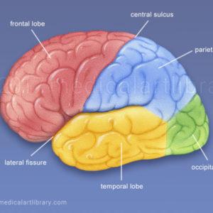 Brain Lobes