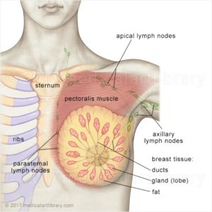 breast anatomy  medical art library