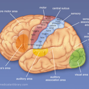 Cerebral Cortex – Functional Areas