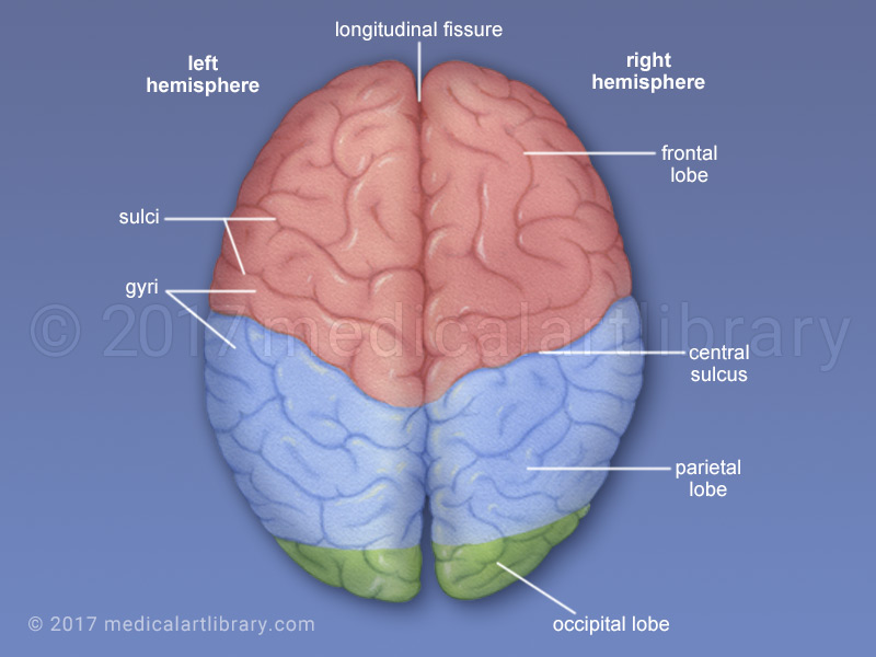 "the differences between the left and the right hemispheres of the brain The hemispheres of women's brains are more interconnected  it is one of the  first to discover differences in the brain's structural connectivity in a  while in  women they tend to zig-zag between the left, or ""logical,"" and right,."