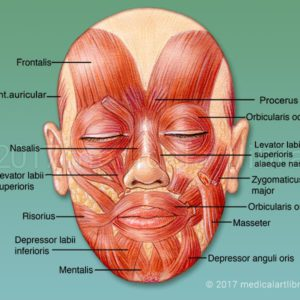 Muscles of the Face - Mimetic Muscles