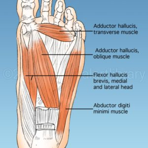 Foot Muscles