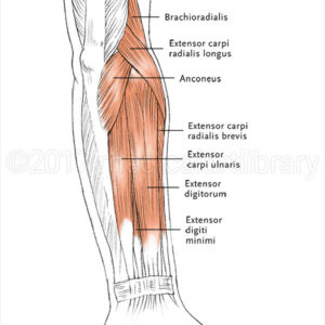 Forearm Muscles - Extensors