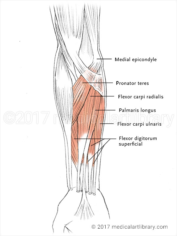 Forearm Muscles - Flexors - Medical Art Library