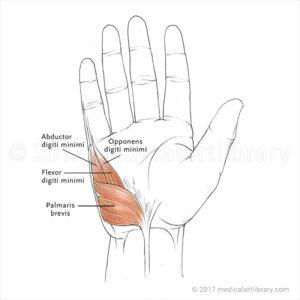 Hand Muscles Hypothenar