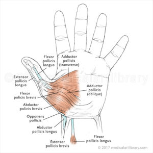 Hand Muscles Thenar