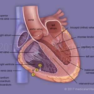 Heart Anatomy Internal