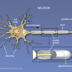 Neuron - (nerve cell)